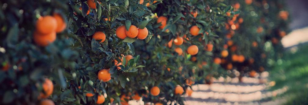 Portocale Valencia Late – soi de înaltă calitate
